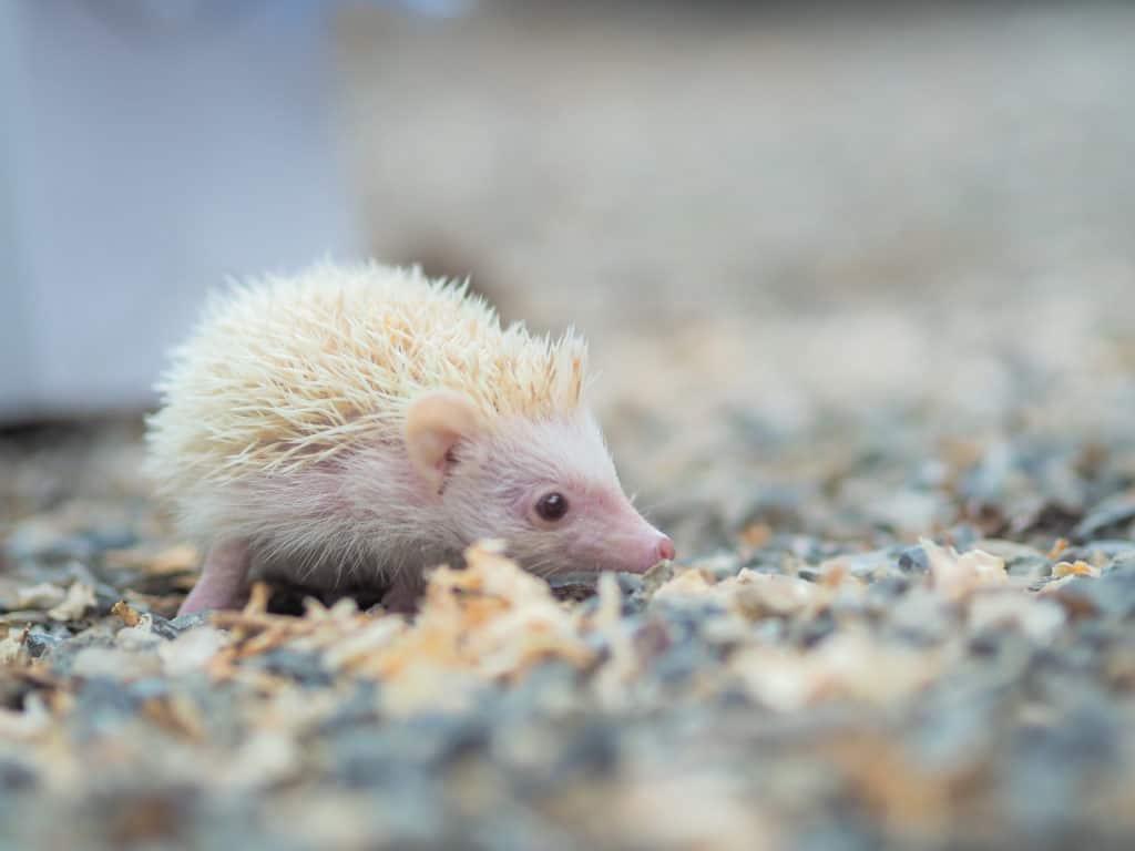 Hedgehog Mites Home Remedy - Heavenly Hedgies