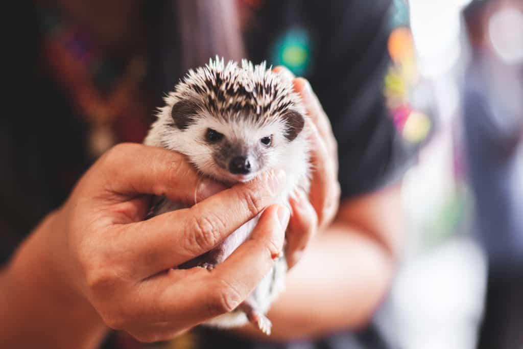 Hedgehog Pet Price >> Where To Buy A Baby Hedgehog Heavenly Hedgies