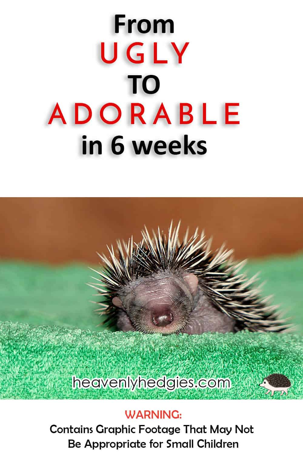A Baby Hedgehog: From Birth to Weaned - Heavenly Hedgies