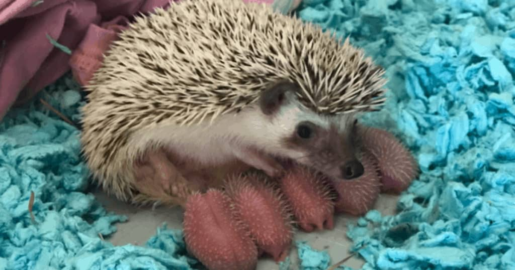 A Baby Hedgehog From Birth To Weaned Heavenly Hedgies