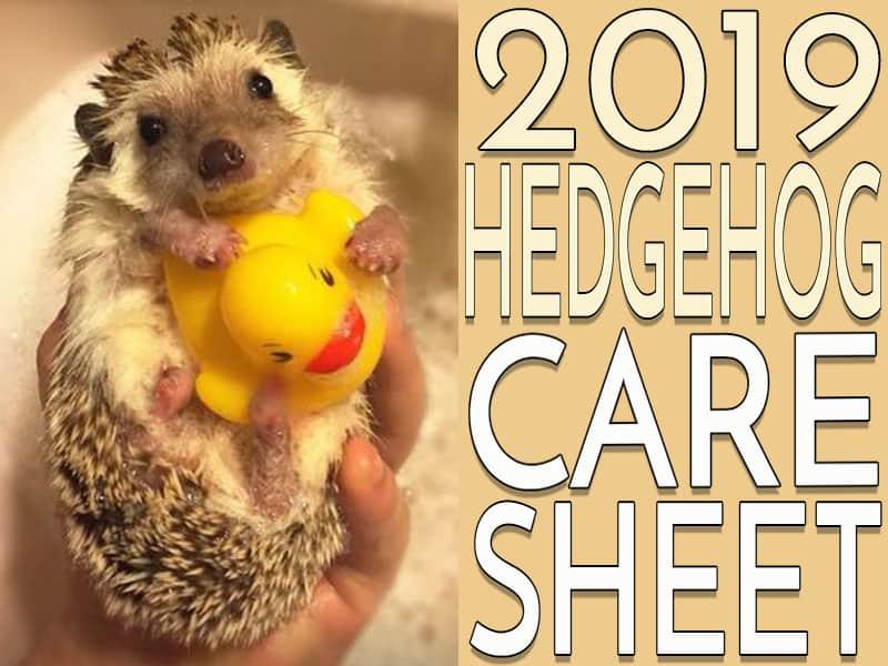 Hedgehog Care Sheet 2019 Version Heavenly Hedgies