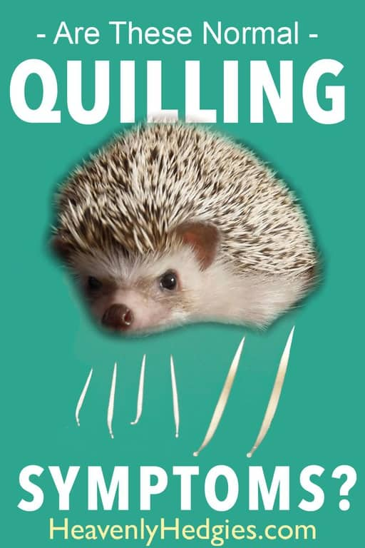Hedgehog Quilling Symptoms And Tips - Heavenly Hedgies