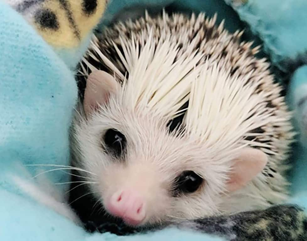 Hedgehogs Are Cool Pets To Own Heavenly Hedgies
